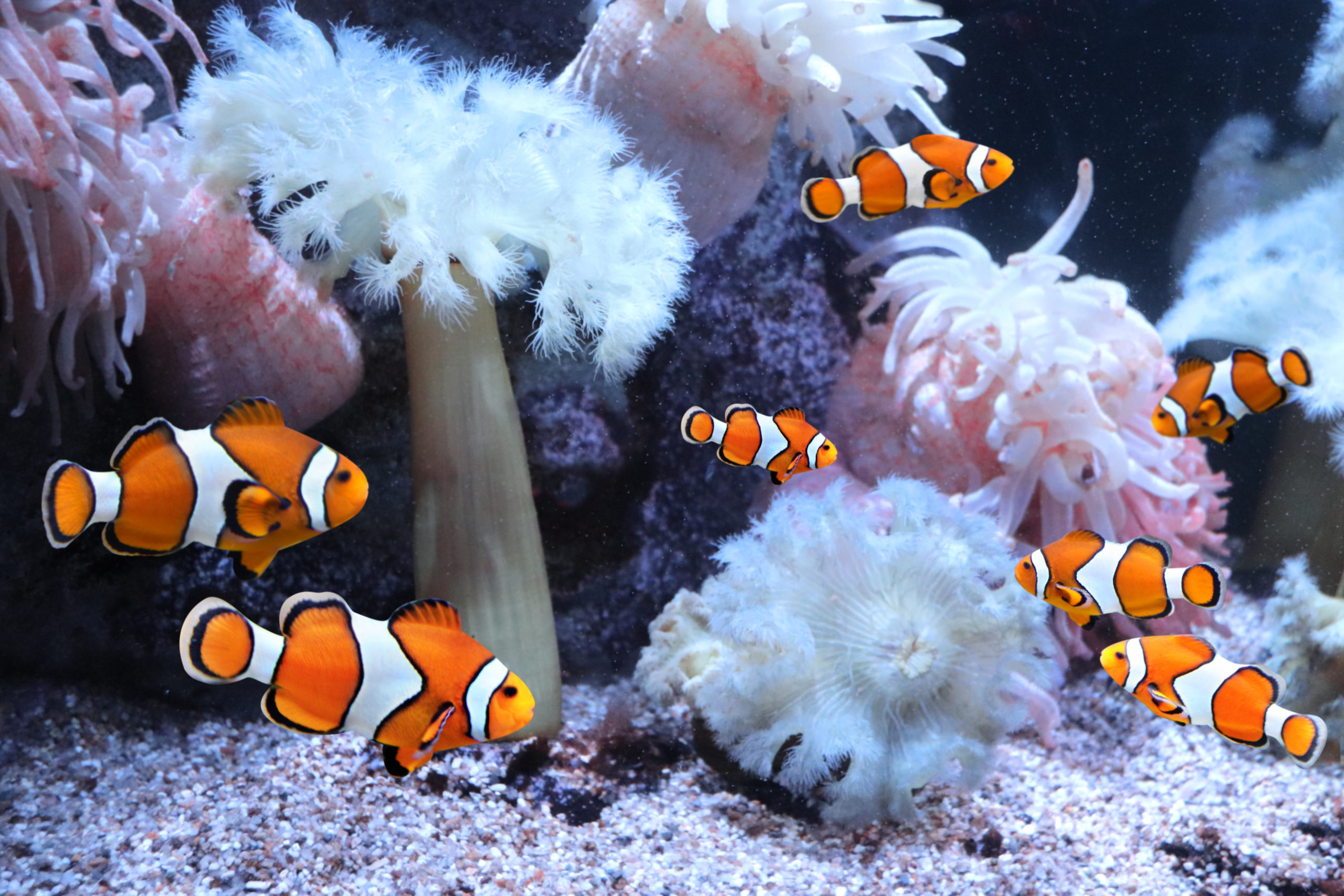 orange and white clown fish at the national aquarium