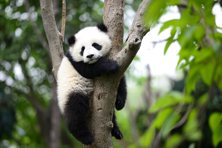 A panda bear hanging out in a tree.