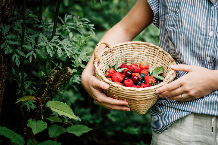 Person with basket of berries in an orchard   Fruit picking in Germantown
